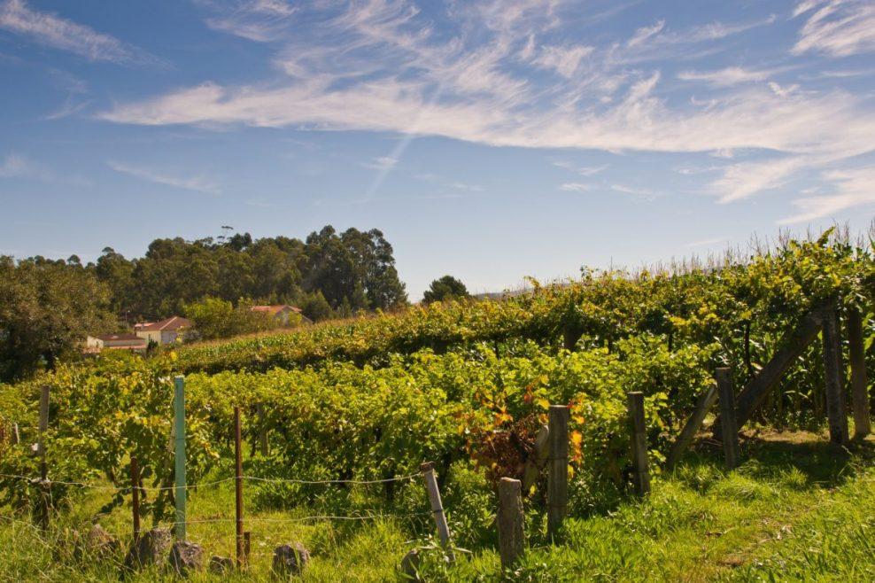 albariño y viñedos en galicia